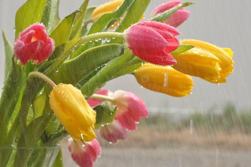 Tulips in the Rain stock photo