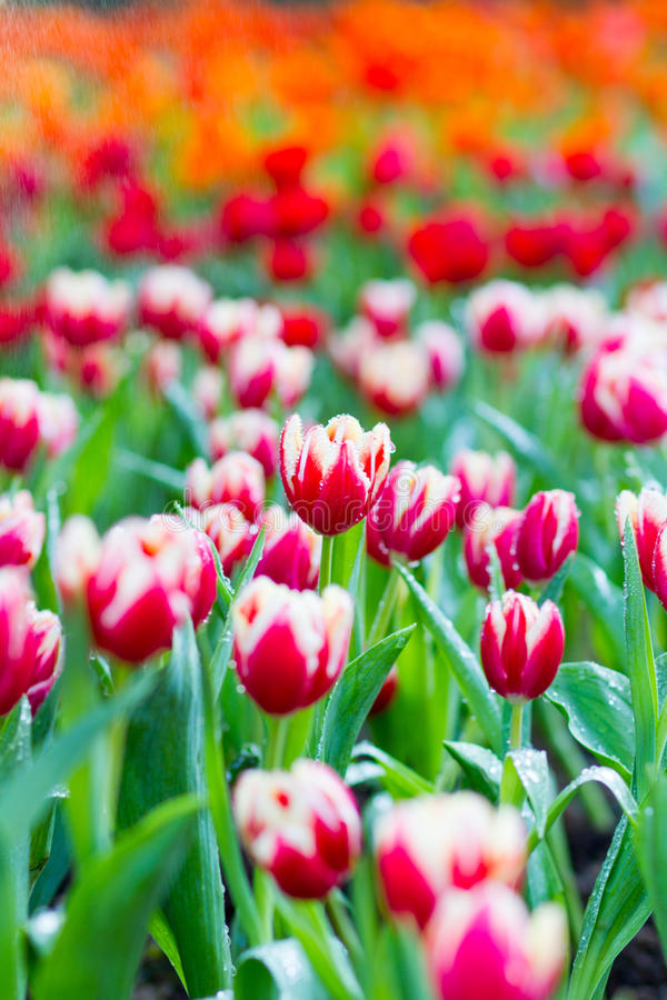 Tulips in rain stock image