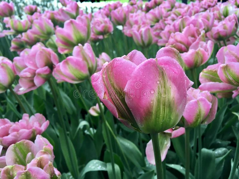 Tulips with raindrop. In Keukenhof royalty free stock photos