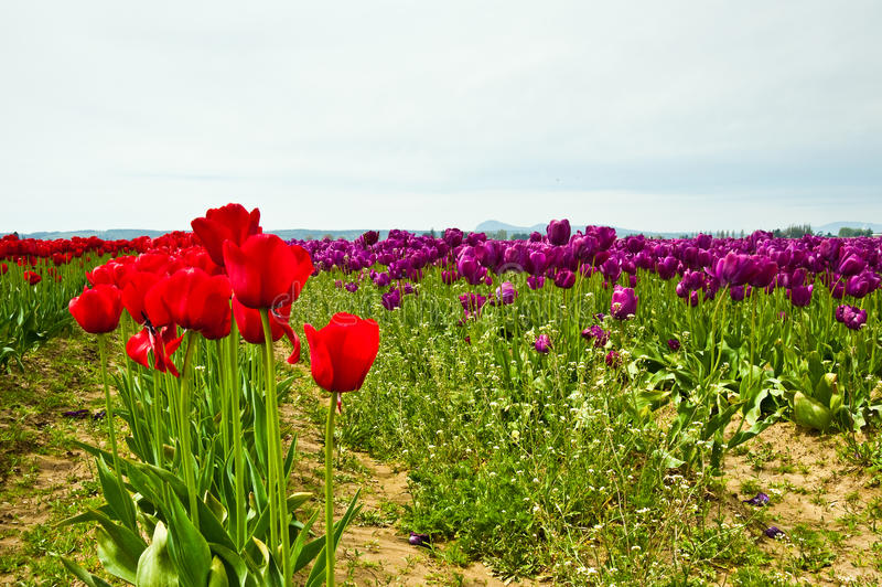 Download Tulips stock photo. Image of blossoming, natural, color - 32410160