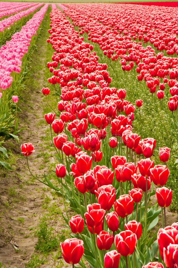 Download Tulips stock photo. Image of farm, ornamental, natural - 32410126