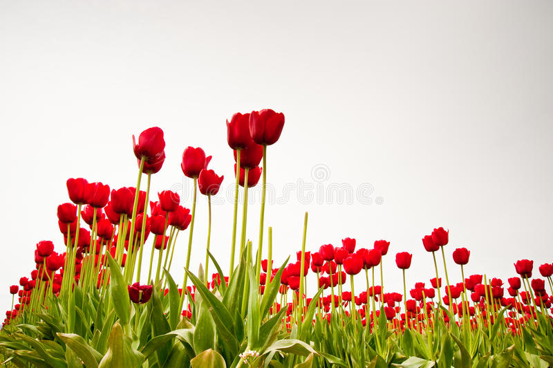 Download Tulips stock image. Image of decorative, garden, blooming - 32410143
