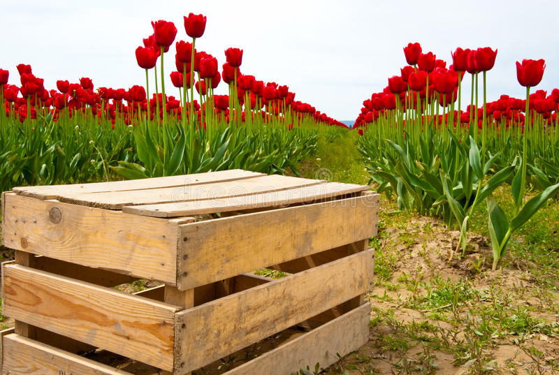 Download Tulips stock photo. Image of colorful, meadow, bulbous - 32410158