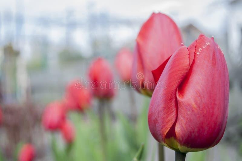Tulips. stock image