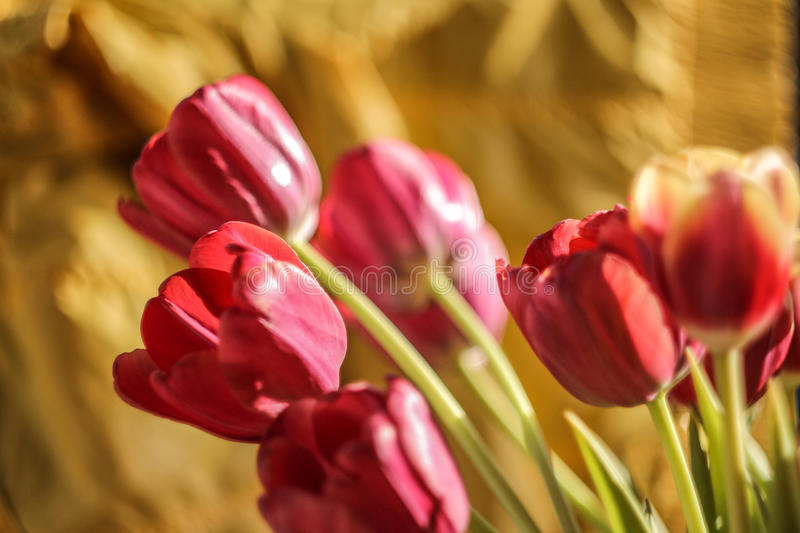 Tulips red yellow orange pink royalty free stock photo