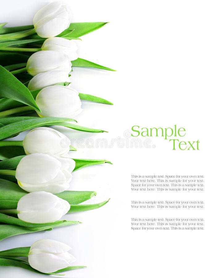 Tulips in a row, isolated on white stock photography