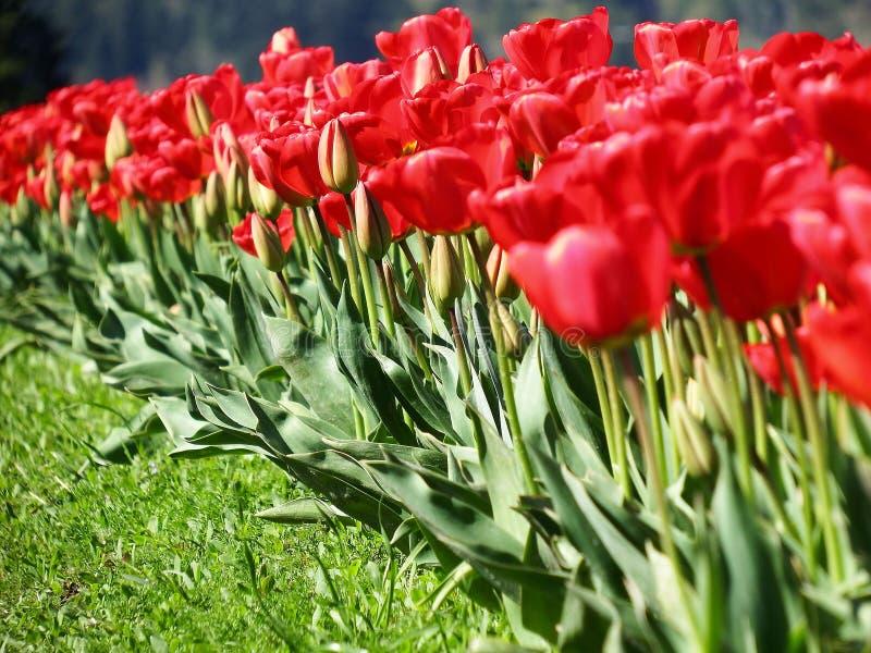 Tulips in a row. stock photos
