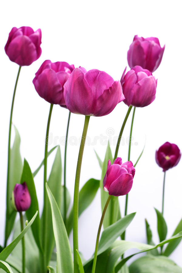 Tulips roxos foto de stock royalty free