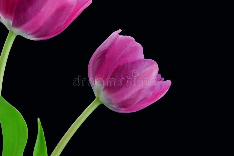 Tulips roxos fotos de stock royalty free
