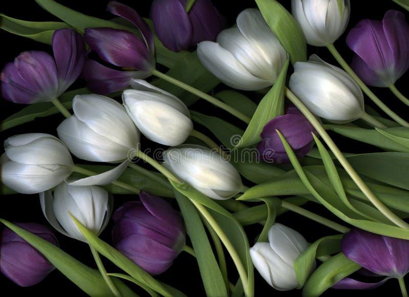 Tulips roxos e brancos imagem de stock