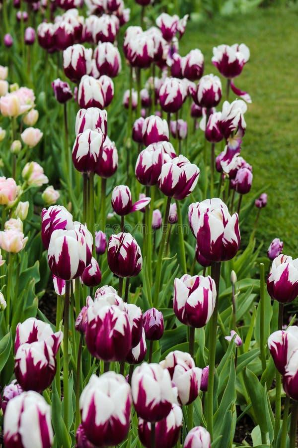 Tulips roxos e brancos imagem de stock royalty free