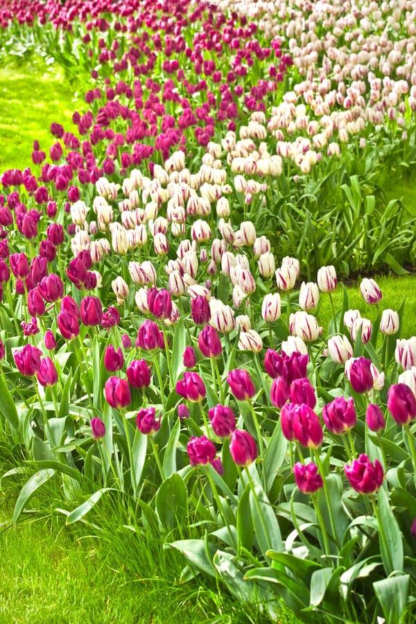 Tulips roxos e brancos bonitos na mola fotografia de stock royalty free