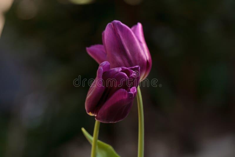 Tulips roxos escuros fotos de stock