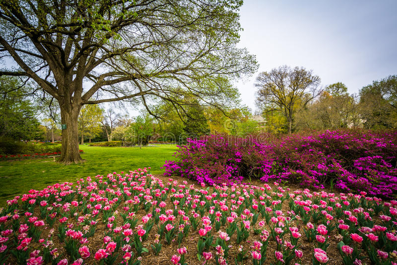 Tulips at Sherwood Gardens Park, in Baltimore, Maryland. royalty free stock photo