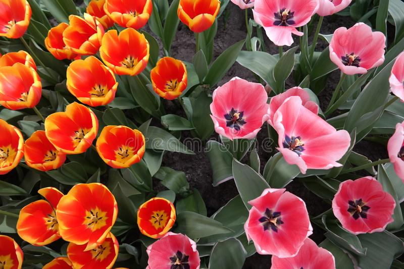 Tulips showing his heart royalty free stock photos