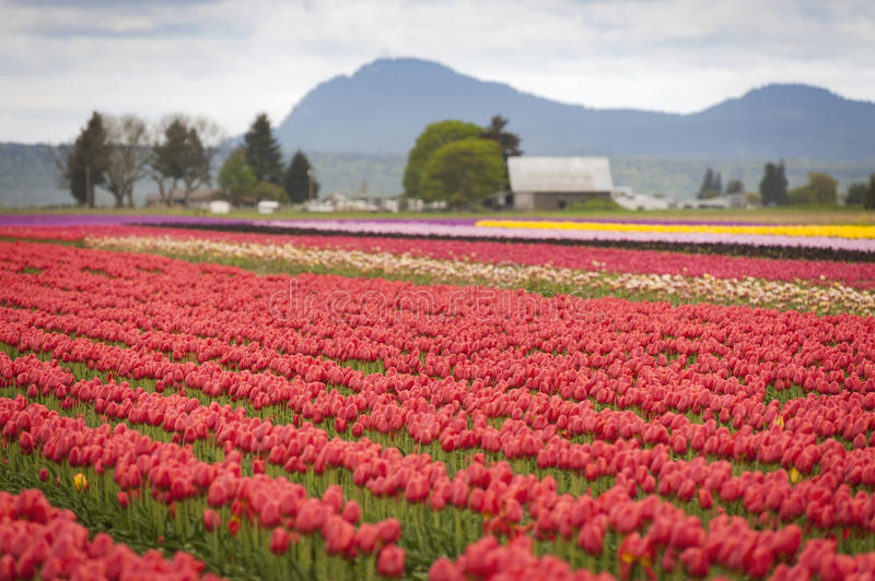 Tulips in the Skagit Valley stock image