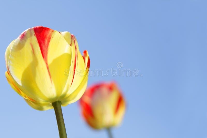 Tulips and sky stock photos