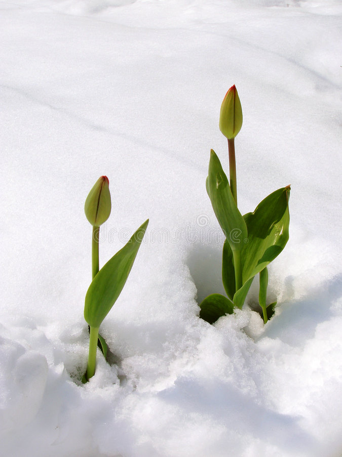 Tulips in snow royalty free stock images