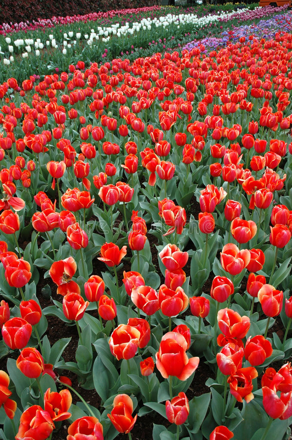 Tulips in Spring stock photography
