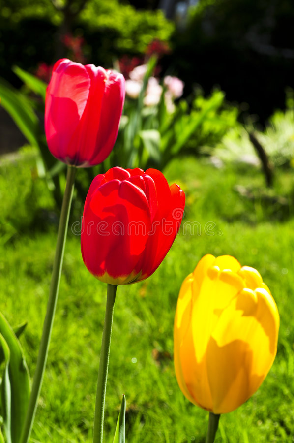 Download Tulips in spring garden stock photo. Image of flowering - 7810988