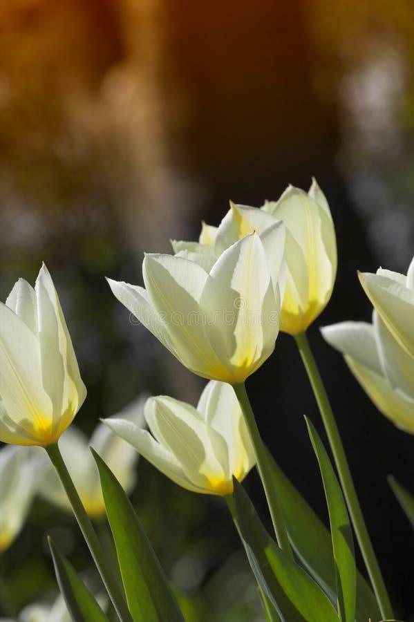 Tulips in springtime royalty free stock photos