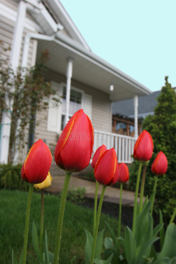 Tulips suburbanos fotos de stock