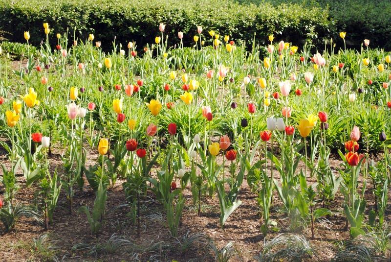 Tulips in the Sun stock image