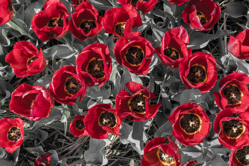 Tulips top view with red yellow petals and gray leafs stock photos