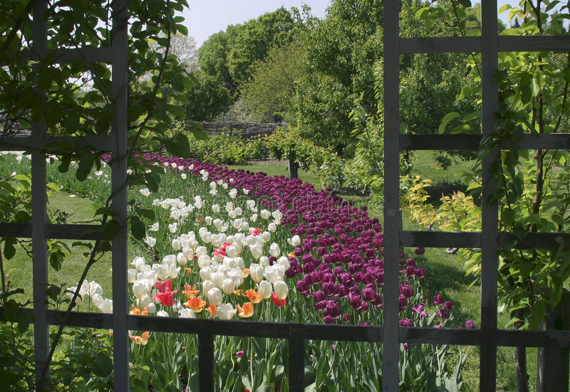 Download Tulips And Trellis, Pastoral Scene Stock Photography - Image: 7207542