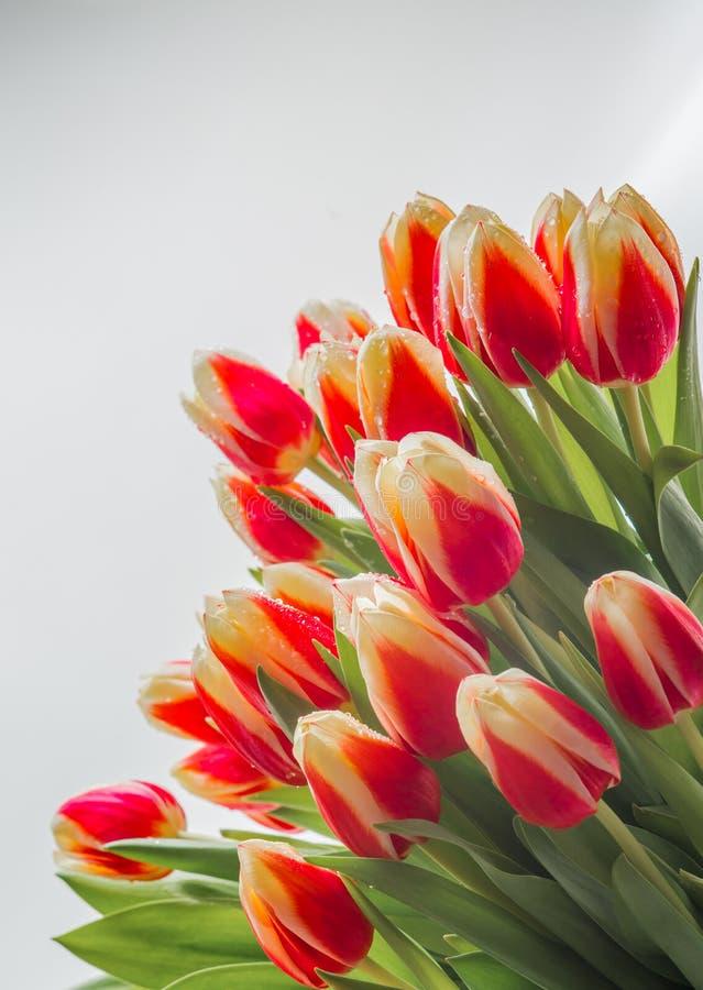Tulips 3 stock photos