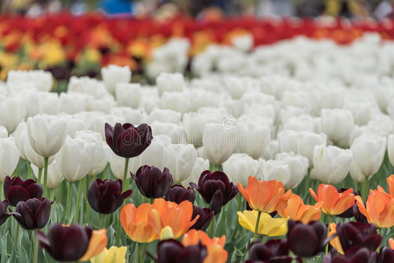 Tulips. Tulip is a genus of angiosperm plant of the family Liliaceae. With about a hundred species tulips have leaves that can be oblong, oval or lance-shaped stock images