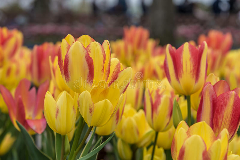 Tulips. Tulip is a genus of angiosperm plant of the family Liliaceae. With about a hundred species tulips have leaves that can be oblong, oval or lance-shaped royalty free stock image
