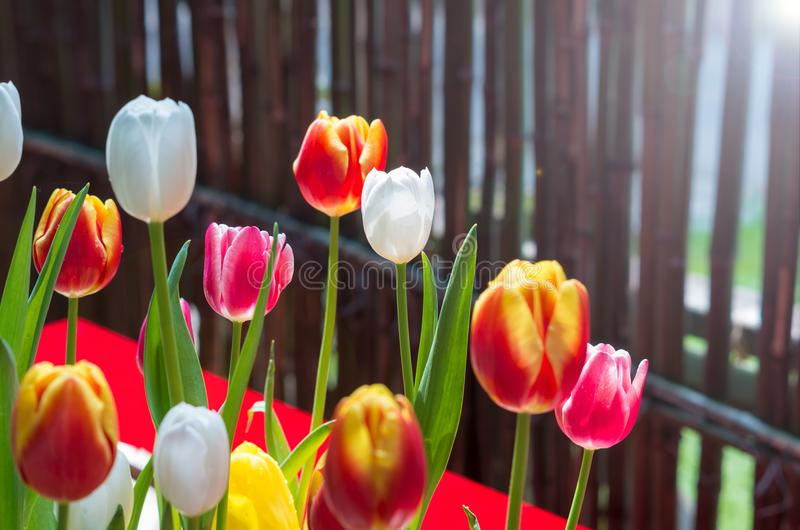 Tulips of Wuhan Botanical Garden. Tulips Tulipa form a genus of spring-blooming perennial herbaceous bulbiferous geophytes having bulbs as storage organs. The royalty free stock photo
