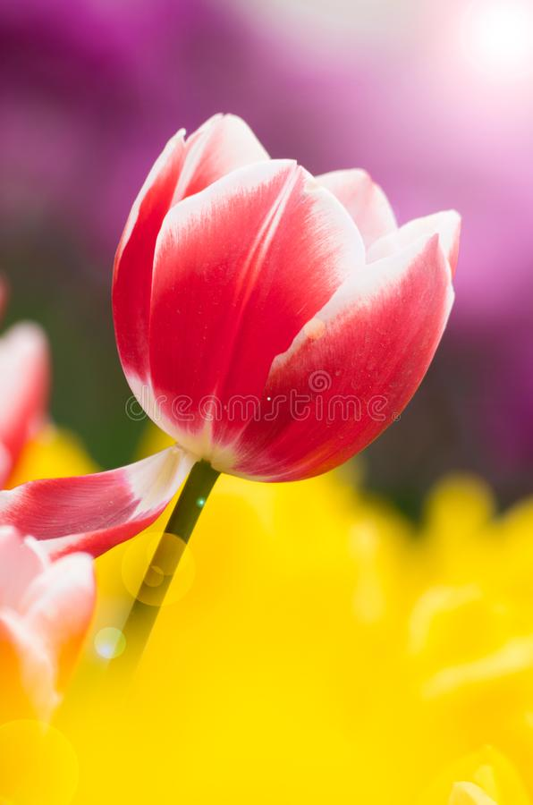 Tulips of Wuhan Botanical Garden. Tulips Tulipa form a genus of spring-blooming perennial herbaceous bulbiferous geophytes having bulbs as storage organs. The stock photos