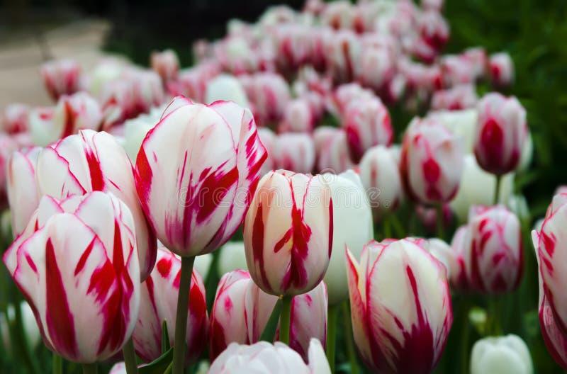tulips Vermelho-brancos foto de stock