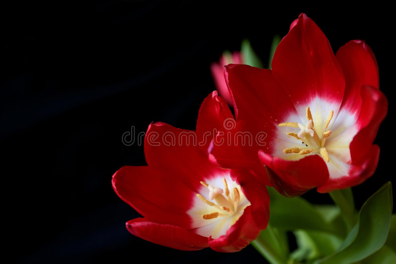 Tulips vermelhos fotos de stock