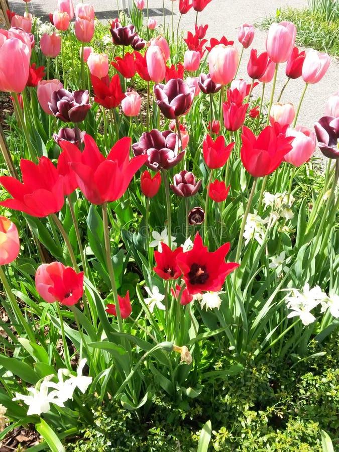 Tulips vermelhos brilhantes foto de stock