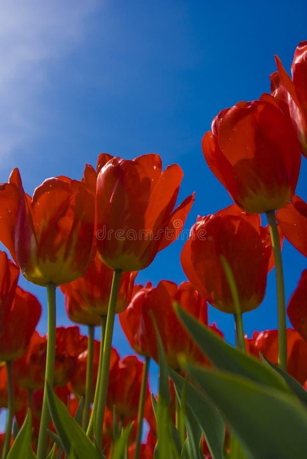 Tulips vermelhos de encontro ao céu azul imagens de stock