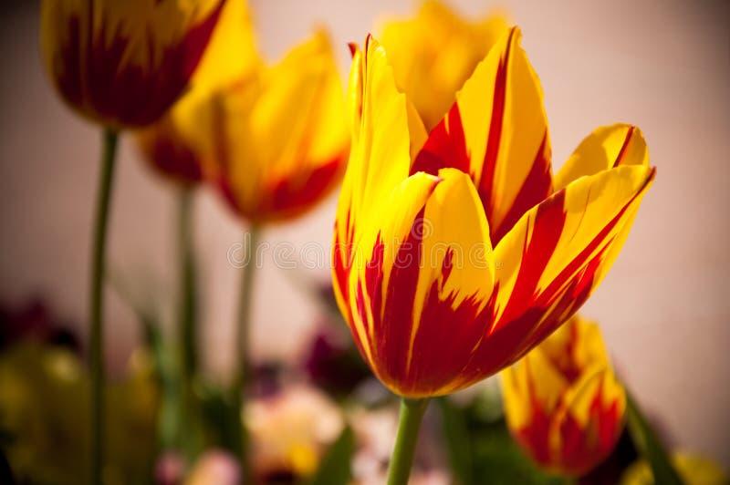 Tulips vermelhos e amarelos. fotos de stock royalty free
