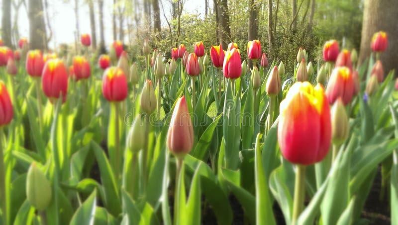 Tulips vermelhos e amarelos foto de stock