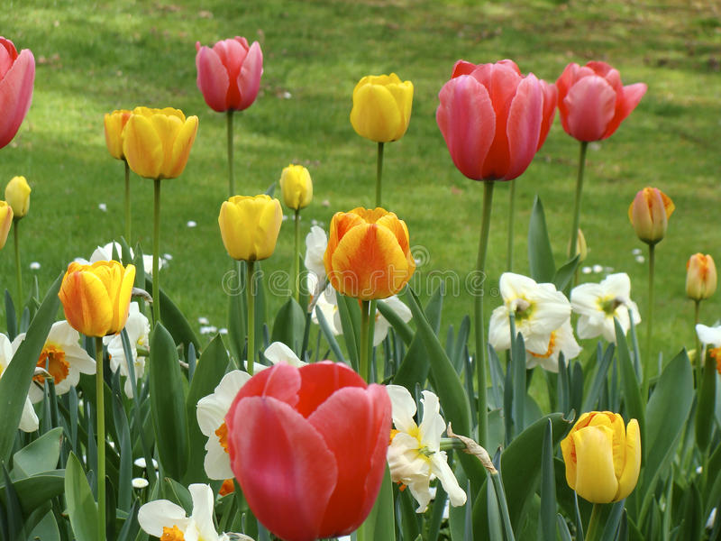 Tulips vermelhos e amarelos imagens de stock