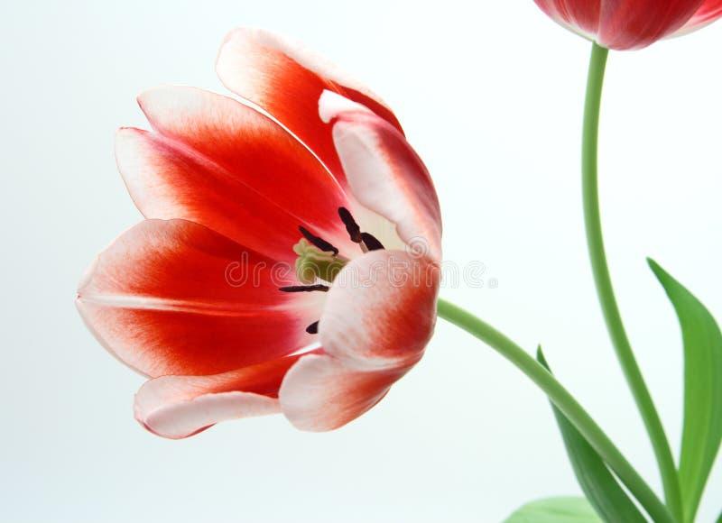 Tulips vermelhos e brancos fotos de stock