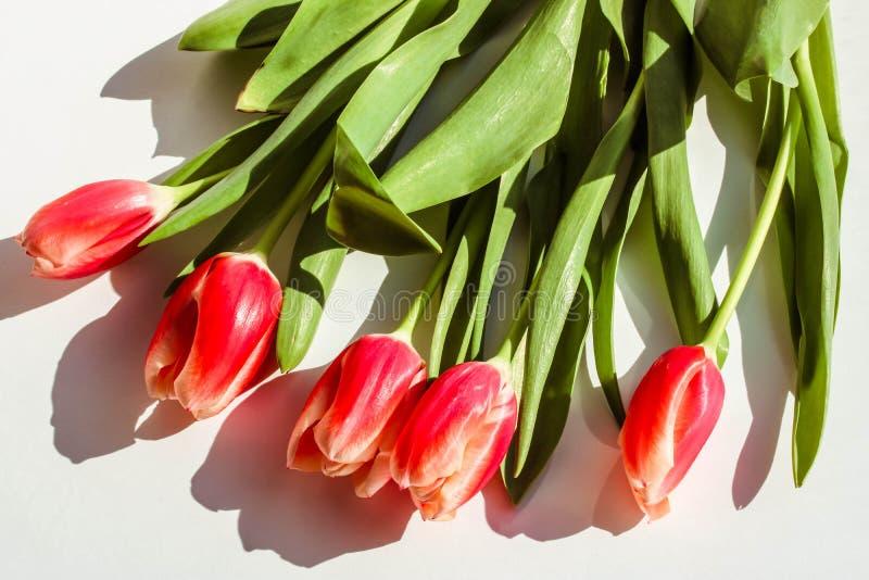 Tulips vermelhos no fundo branco Feche acima da vista Flores frescas do sprind foto de stock