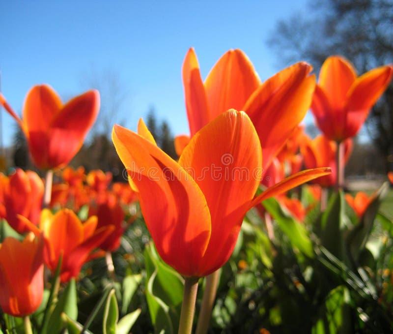 Download Tulips Vermelhos No Fundo Do Céu Azul Imagem de Stock - Imagem de fundo, jogo: 80102215