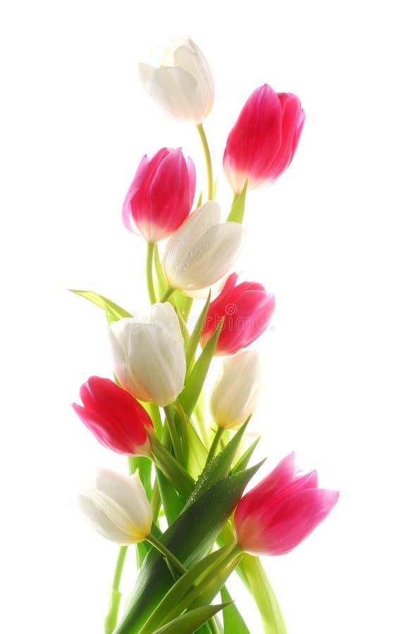 Tulips verticais imagens de stock royalty free