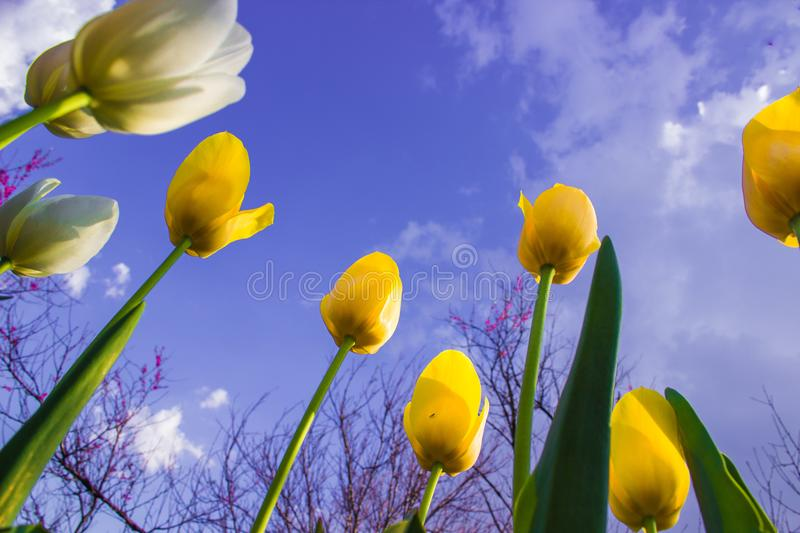 Tulips with a view of the sky... Spring came. Tulips blossomed in the garden. Yellow and white tulips looking to the sky stretch towards the sun royalty free stock image