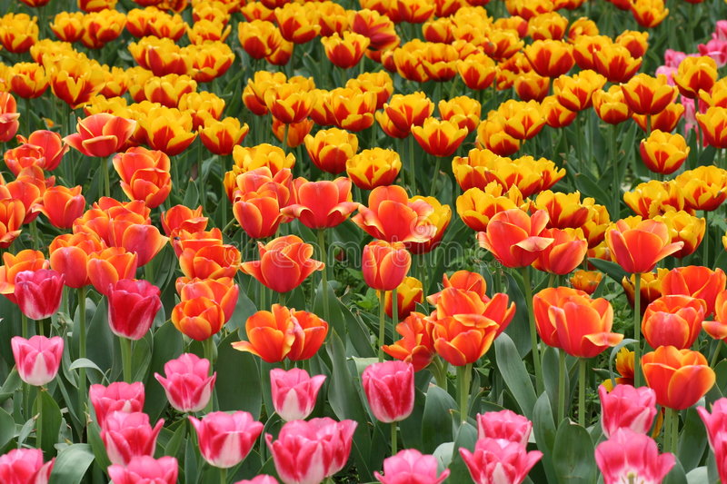 Tulips in vivid colors. Many tulips in vivid colors royalty free stock images