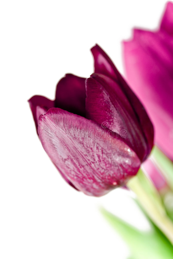 Download Tulips on White background stock photo. Image of tulip - 7286614