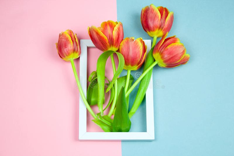 Tulips in white frame flat lay. On  pastel pink and blue background stock photos