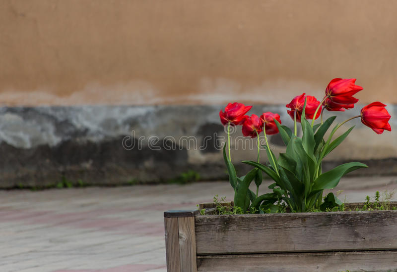 The tulips in the wind royalty free stock image